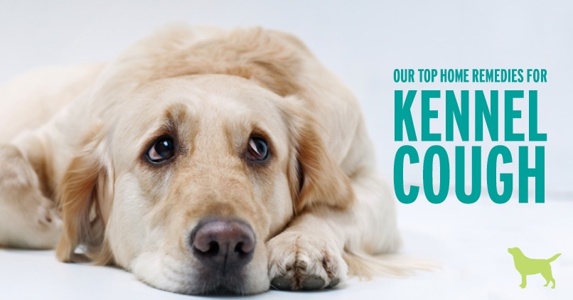 Our top home remedies for kennel cough. A golden retriever laying down looking up for help