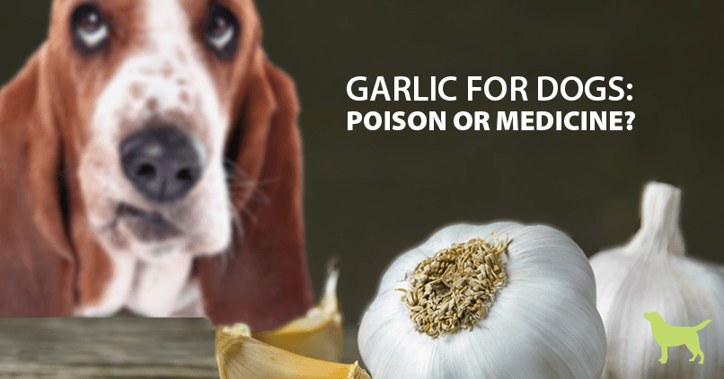 Dog in front of fresh garlic