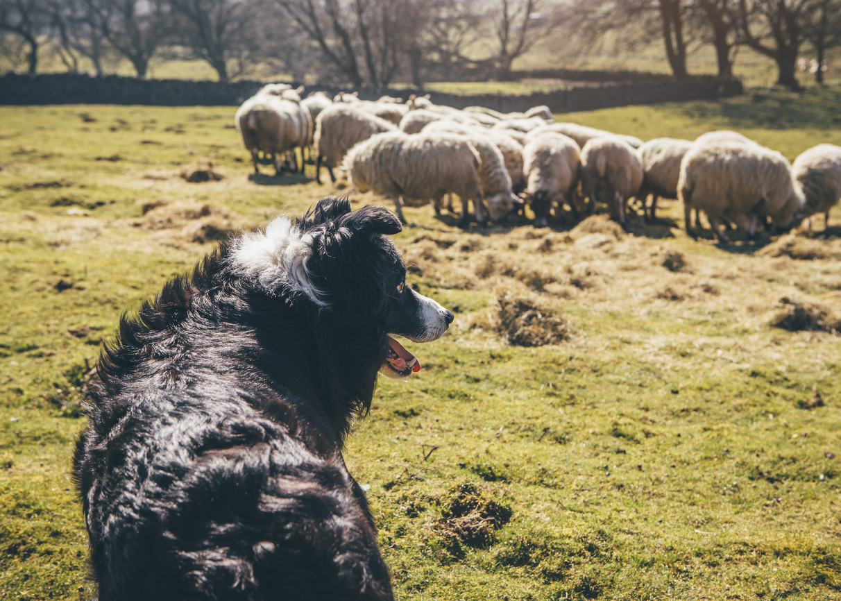 Depressed dog without purpose looking at sheep