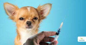 Distemper Vaccine