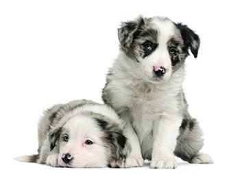 Aussie Puppies