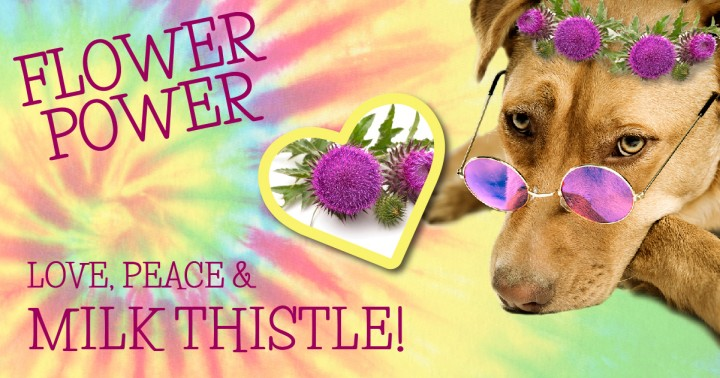 Milk Thistle For Your Dog Dogs Naturally Magazine