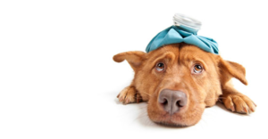 Dog with circovirus with ice pack on his head