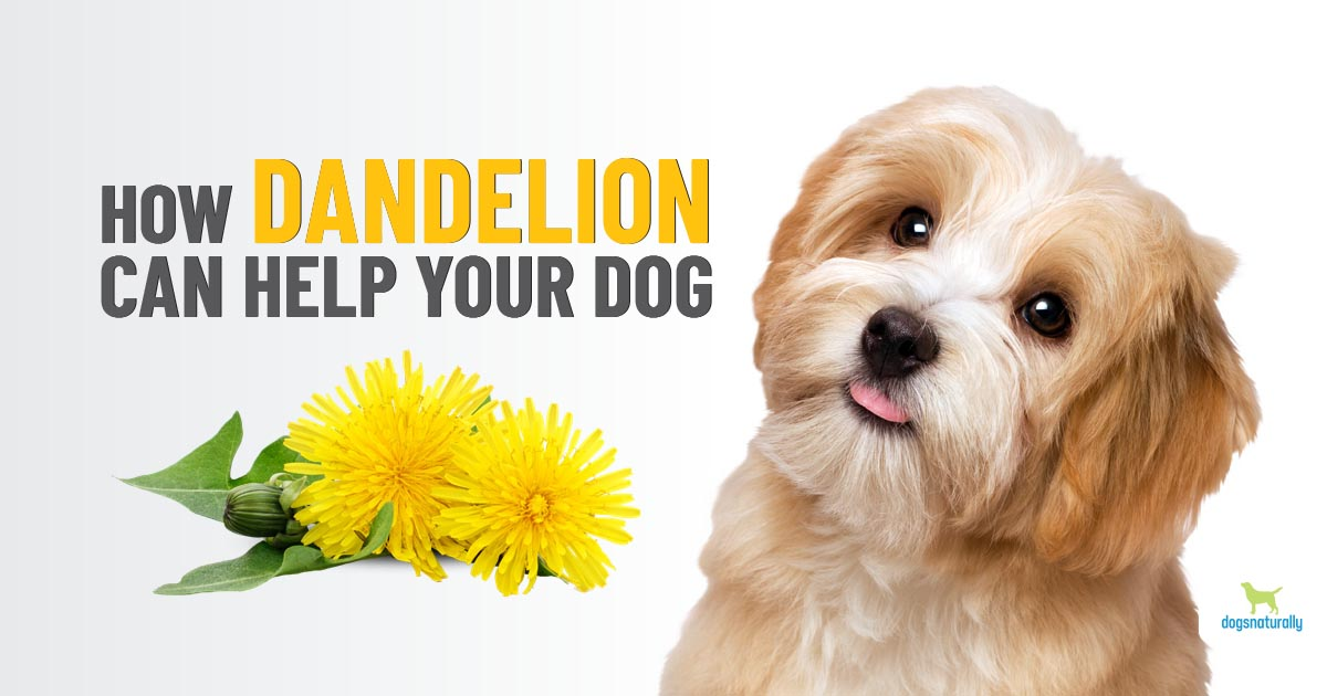 Dandelion For Dogs Much More Than A Weed Dogs Naturally