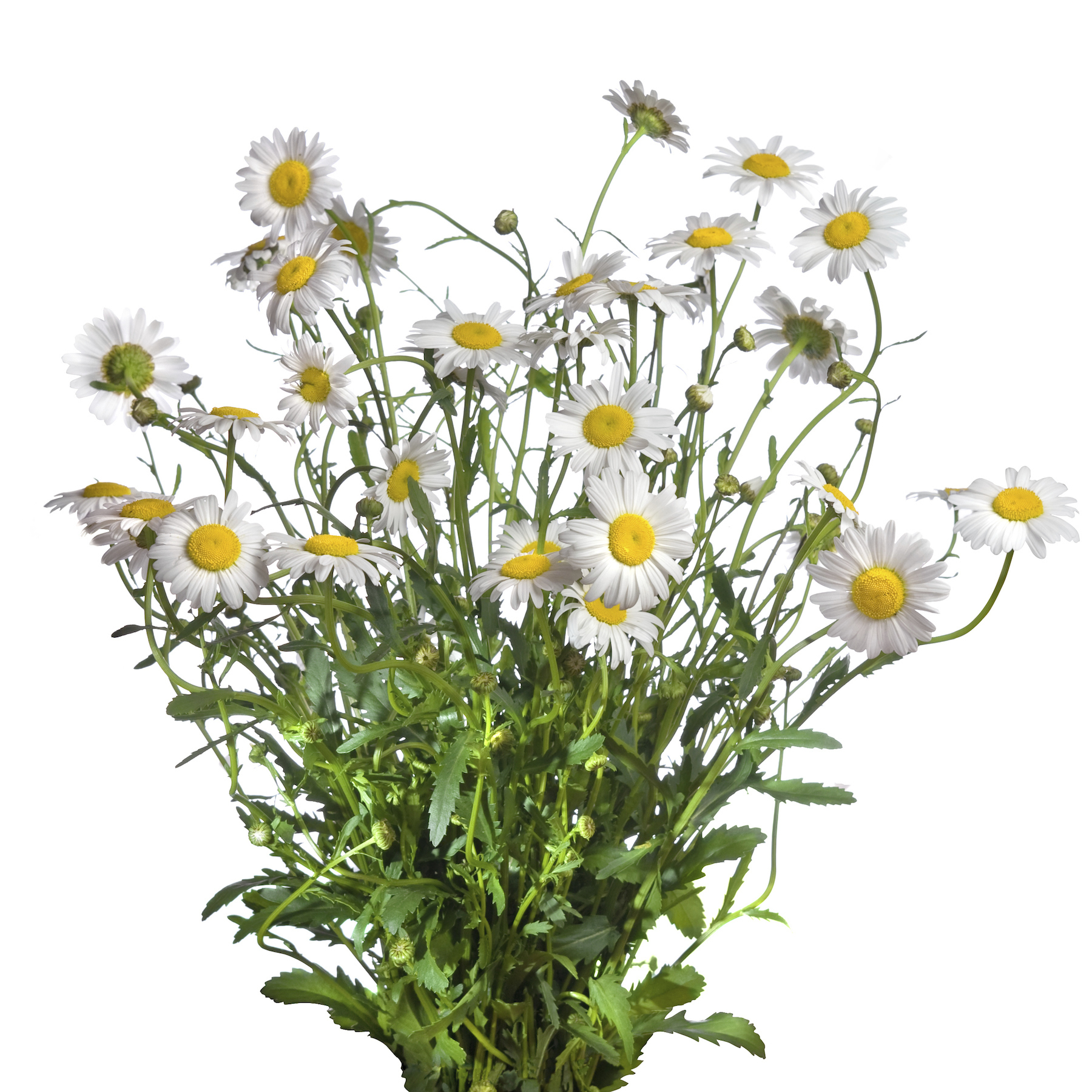 german chamomile a bit of herbal sunshine for you and free turkey clip art black and white free turkey clipart thanksgiving