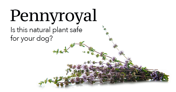 Pennyroyal plant for dogs