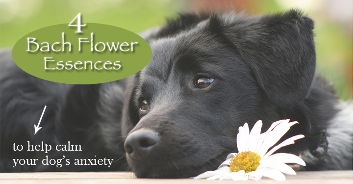Black dog laying next to bach flower