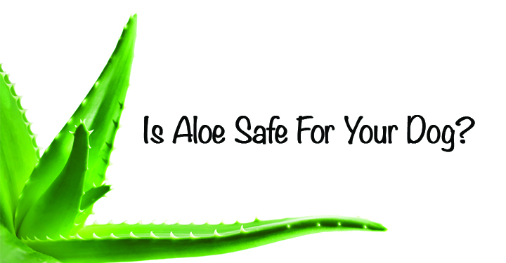Aloe plant for dogs
