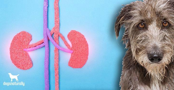 a sad dog and cartoon like kidneys