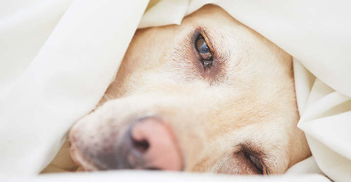natural treatment for dog flu