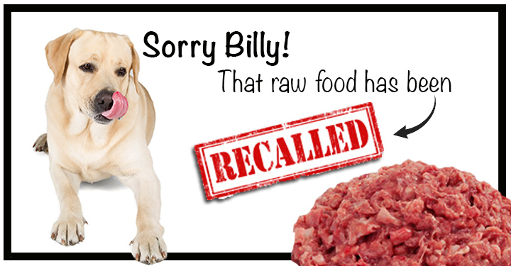 Yellow lab looking at recalled raw dog food