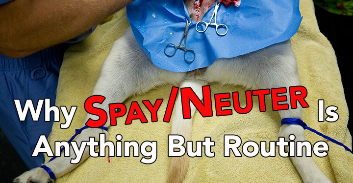 Dog being spayed / neutered