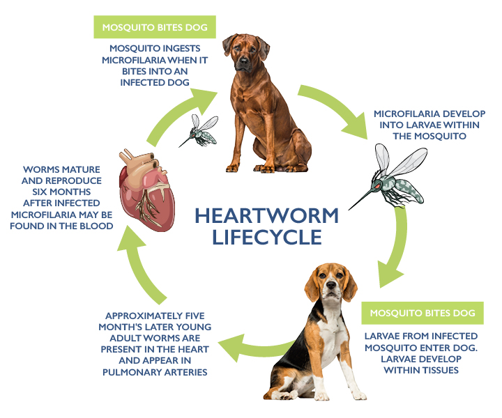 Heartworm lifecycle in dogs