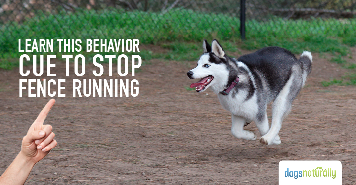 Husky dog fence running