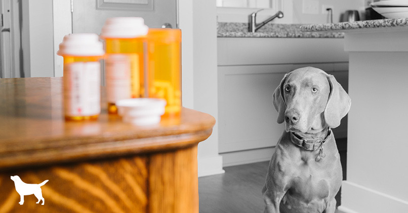 A photo of a dog in black and white looking a pill vials on the counter ( in colour)