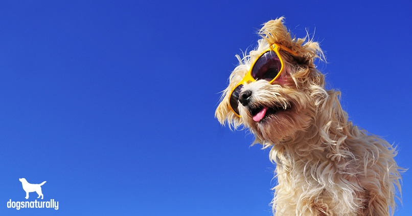 A dog in the sunlight wearing sunglasses