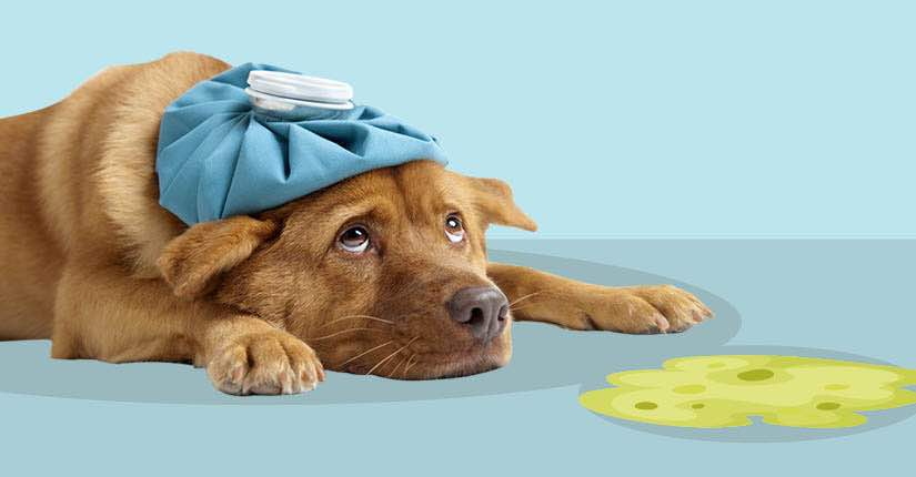 Is Your Dog Vomiting? Here's How To Manage It …