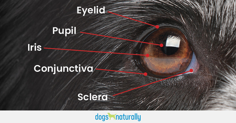 Yes You Can Manage Dog Eye Problems Naturally