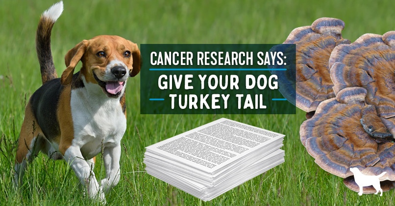 """Turkey Tail Mushrooms For Dogs. Beagle on the left and turkey tail mushroom on the right. Text in the middle says, """"Cancer Research says: give your dog turkey tail"""""""