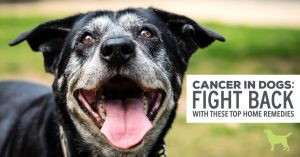 """old smiling dog. text """"Cancer in dogs fight back with these top home remedies"""""""