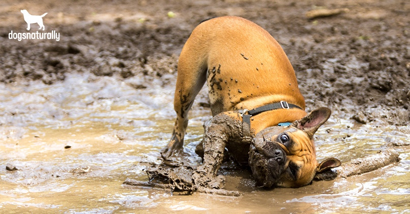 Dog rolling in the dirt