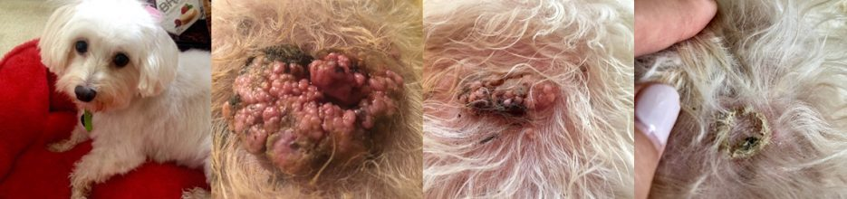 Befor and after photos of Olivia's tumor falling off