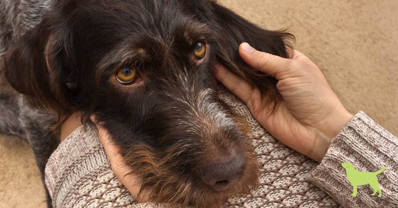 dog ear infections - a sad GSP dog with his head on his owner's lap