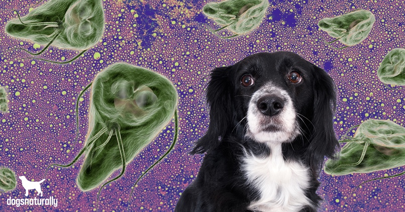 What giardia in dogs looks like