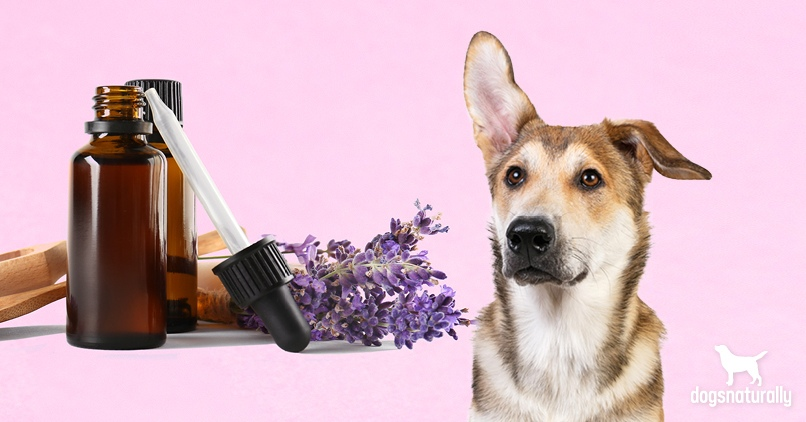 9 Ways Lavender Essential Oil Benefits Your Dog Dogs Naturally